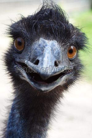 neugieriger emu