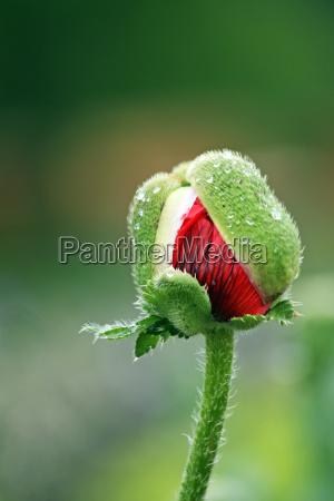 poppy opens to flower