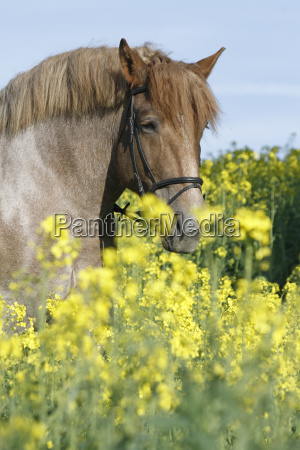 cold blood in rapeseed