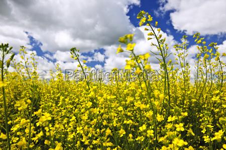 canola plants in field