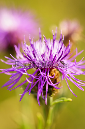 knapweed flower