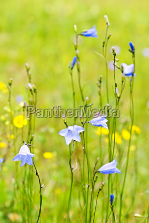 blue harebells wildflowers