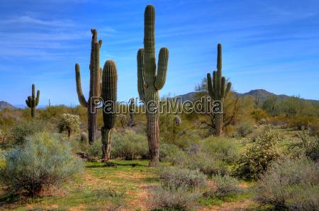 saguaro kakteen im fruehjahr