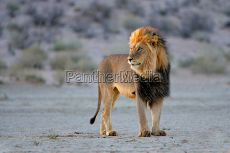 grossen maennlichen afrikanischen loewen