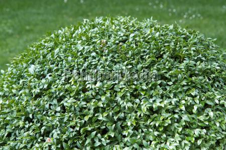 buchs tree buxus sempervirens
