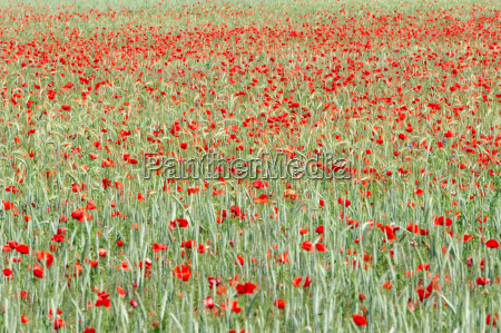 rye field with poppies