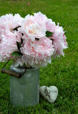 rosa pfingstrosen im garten