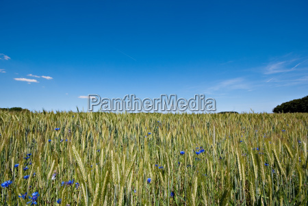 cereal field and cornflowers