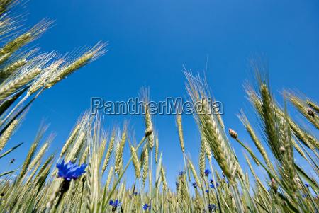agriculture farming field grain acre ear