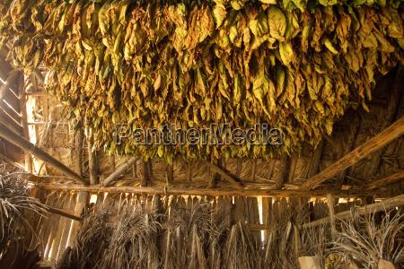 cuban cigars tobacco drying