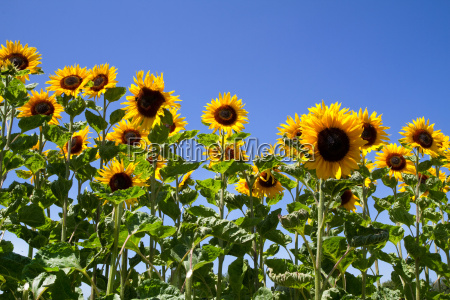 bluehende sonnenblumen helianthus