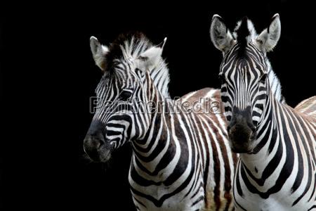 zebraduo