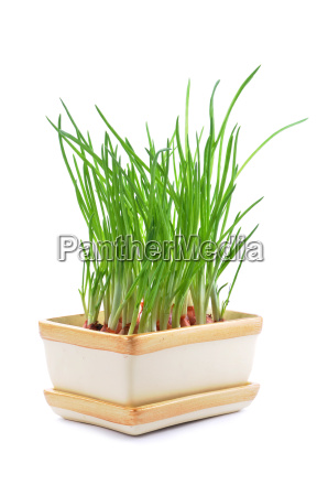 chives in pot isolated