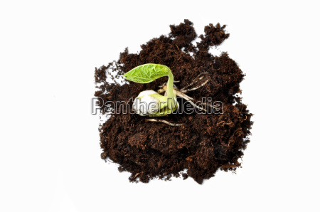 growing plant isolated