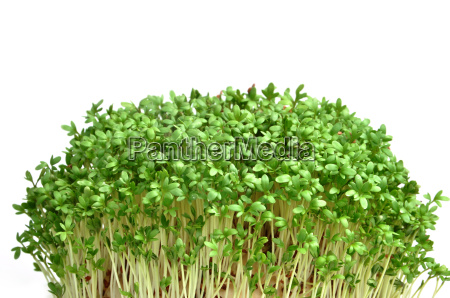 cress isolated on white background young