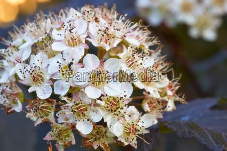 flowering shrub devil physocarpus opulifolius