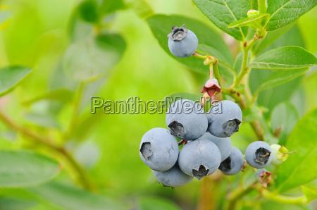 heidelbeere am strauch 01 blueberry on