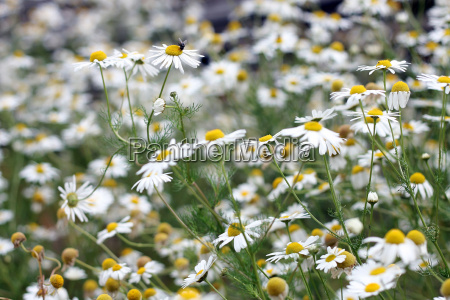 chamomile flowers in humans and animals