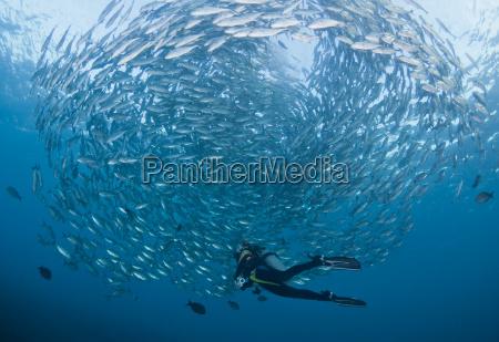 blau asien tiere bali indonesien fisch