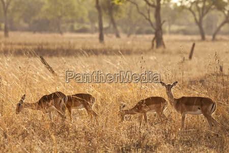 wild afrika safari gazelle