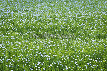 blooming flax background