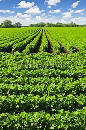 rows of soy plants in a