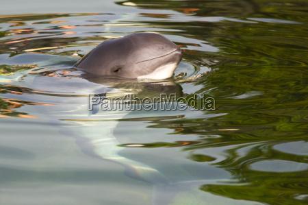 schweinswal oder phocoena phocoena