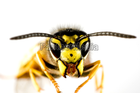 head of wasp in white background