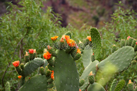 kaktusblueten