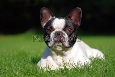 hunde tiere animals natur umwelt franzoesische