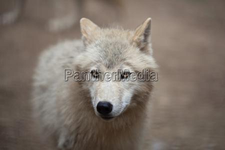 arktischer wolf canis lupus arctos aka