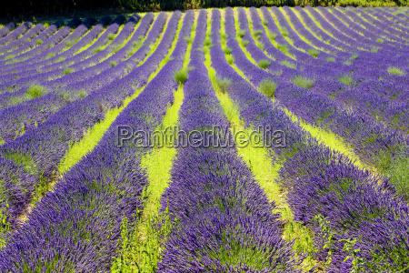 lavendelfeld plateau de valensole provence frankreich