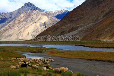 sheeps zanskar valley india