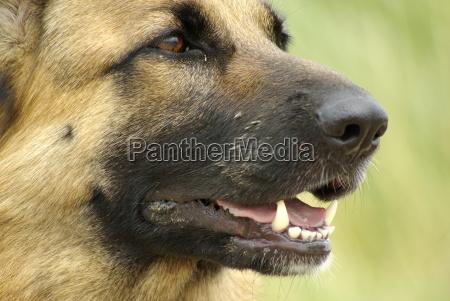 deutscher schaeferhund detailaufnahme