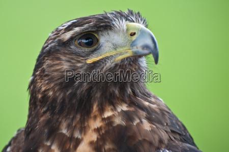 buzzard portrait