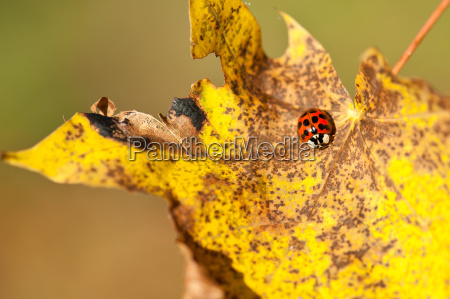 leaf insect beetle leaves foliage ladybug