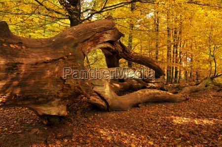 totholz im buchenwald