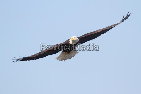erwachsene bald eagle haliaeetus leucocephalus