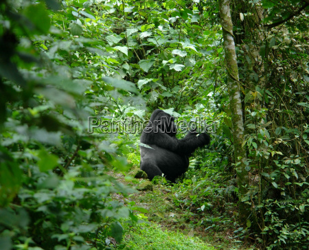 gorilla in the african jungle