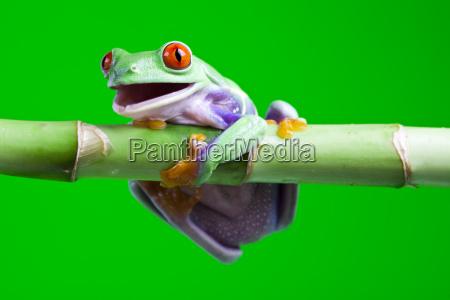 gruener frosch