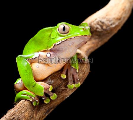 gruene laubfrosch amazonas regen wald