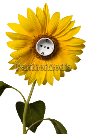 sunflower with socket