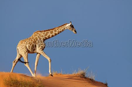 giraffe auf sandduene