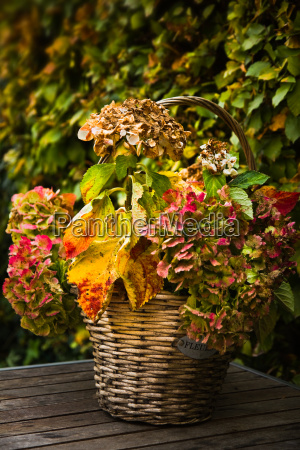 basket with colorful hortensia or hydrangea