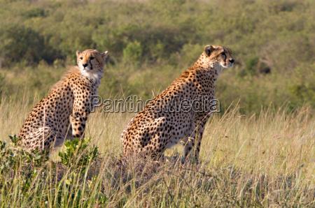 afrika wildlife safari katze raubkatze grosskatze