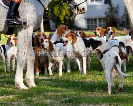 amerikanische foxhounds vor einer jagd