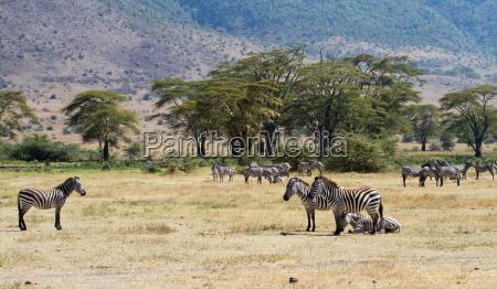 zebraherde im ngorongoro krater