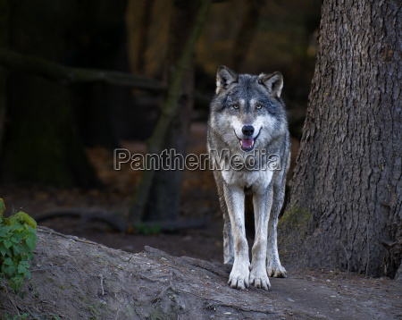 europaeischer wolf