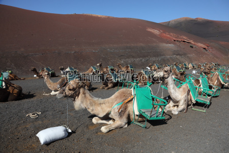 camels waiting for tourists in national
