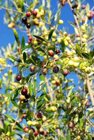 olives fruit on the tree